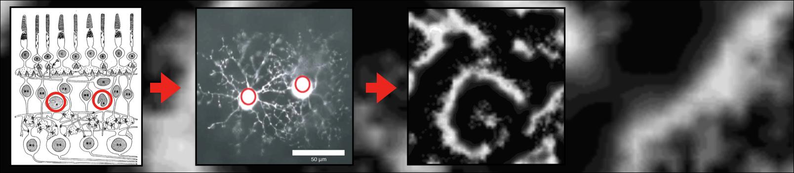Spontaneous bursting behavior in the developing retina